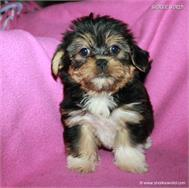 /images/puppies/large/14brandy-adopted-by-lisa-and-family_IMG_0094.JPG
