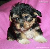 /images/puppies/large/14brandy-adopted-by-lisa-and-family_IMG_0098.JPG