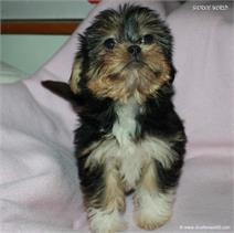 /images/puppies/large/14brandy-adopted-by-lisa-and-family_IMG_0335.JPG