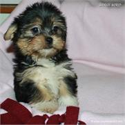 /images/puppies/large/14brandy-adopted-by-lisa-and-family_IMG_0344.JPG