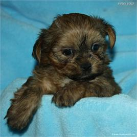 /images/puppies/large/16brett-avaiable_IMG_9873.JPG