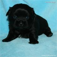 /images/puppies/large/20charlie-available_IMG_9939.JPG