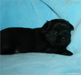 /images/puppies/large/20charlie-available_IMG_9944.JPG