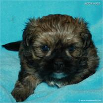/images/puppies/large/21chocho-available_IMG_0365.JPG