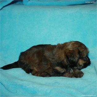 /images/puppies/large/21chocho-available_IMG_0366.JPG