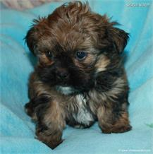 /images/puppies/large/21chocho-available_IMG_0501.JPG