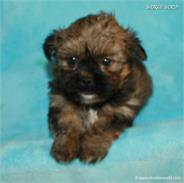 /images/puppies/large/21chocho-available_IMG_0515.JPG