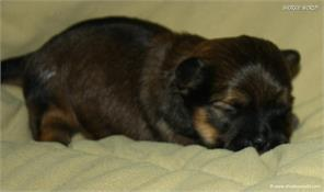 /images/puppies/large/21chocho-available_IMG_9915.JPG