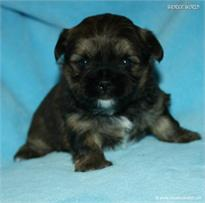 /images/puppies/large/21chocho-available_IMG_9929.JPG