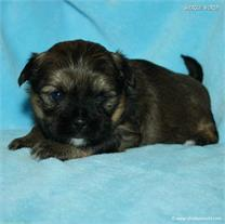 /images/puppies/large/21chocho-available_IMG_9936.JPG