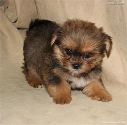 /images/puppies/large/38teddy_IMG_0590.JPG
