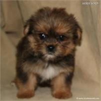 /images/puppies/large/38teddy_IMG_0595.JPG
