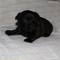/images/puppies/large/42peter_IMG_5736.JPG