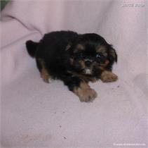 /images/puppies/large/48sammie-im-adopted-by-claudette-and-family_IMG_8711.JPG