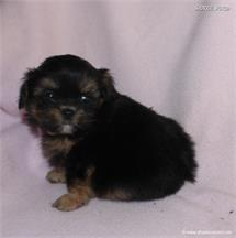 /images/puppies/large/48sammie-im-adopted-by-claudette-and-family_IMG_8716.JPG