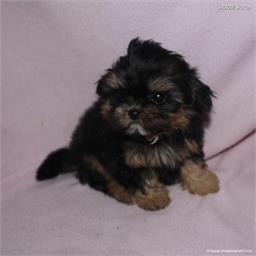 /images/puppies/large/48sammie-im-adopted-by-claudette-and-family_IMG_8979.JPG