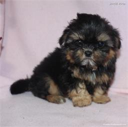 /images/puppies/large/48sammie-im-adopted-by-claudette-and-family_IMG_8997.JPG