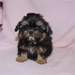 /images/puppies/large/48sammie-im-adopted-by-claudette-and-family_IMG_9005.JPG