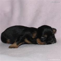 /images/puppies/large/48sammie_IMG_7499.JPG