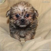 /images/puppies/large/51billy-im-adopted-by-jeniffer-and-family_IMG_9510.JPG