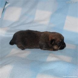 /images/puppies/large/51billy_IMG_9160.JPG