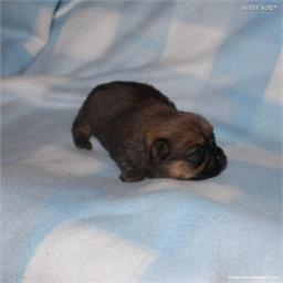 /images/puppies/large/51billy_IMG_9164.JPG