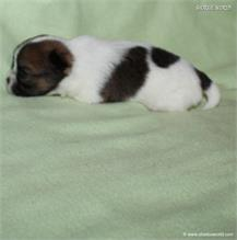 /images/puppies/large/62brother_IMG_2541.JPG