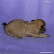 /images/puppies/large/63sammie-im-adopted-by-roseellen-family_IMG_2844.JPG
