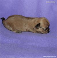/images/puppies/large/63sammie-im-adopted-by-roseellen-family_IMG_2847.JPG