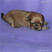 /images/puppies/large/63sammie-im-adopted-by-roseellen-family_IMG_2849.JPG