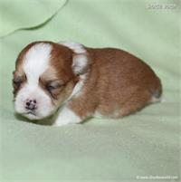 /images/puppies/large/64stewie-im-adopted-by-roseellen-family_IMG_2860.JPG
