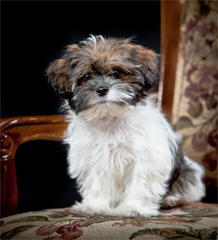 Best Food For Puppies >> Shorkie Puppies for sale USA and Canda - Shorkieworld.com