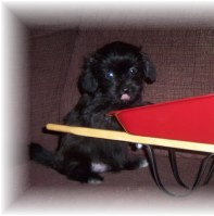 BLACK SHORKIE  AS A PUPPY