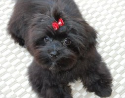BLACK  SHORKIE  AS AN ADULT