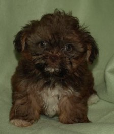 CHOCOLATE SHORKIE  AS A PUPPY