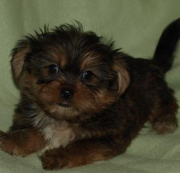 RED AND GOLD SHORKIE  AS A PUPPY