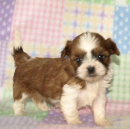 parti shorkie as a puppy